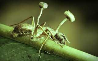 Зомби-апокалипсис реален — среди насекомых существуют зомби!