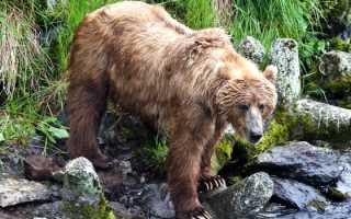 В компании диких животных: Медведь